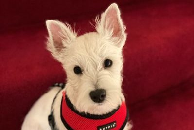 Macbeth, a small, white Westie sits who overcame a bout of Kennel Cough sits on some red stairs