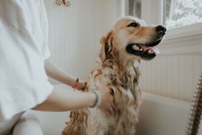 A woman bathes a golden retriever in a bath tub