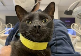 A black rescue cat visits the Dentistry service at the Animal Medical Center