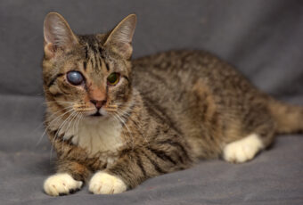 Cat with a cataract in one eye (Cloudiness).