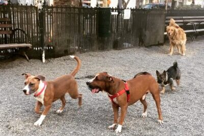 Dogs play at a dog park in New York City