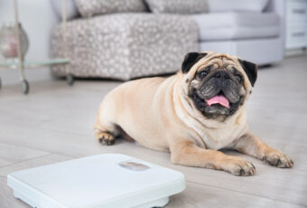 Overweight pug next to a scale