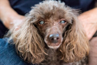 Poodle with cataracts in both eyes (cloudiness).