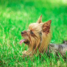 A Yorkie sits in the grass