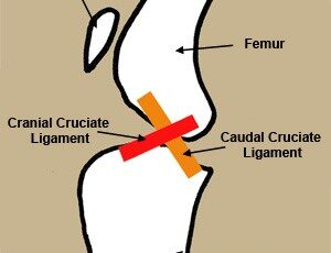 Illustration showing where the CCL tear occurs.