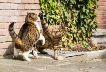 Outdoor cats playing or fighting.