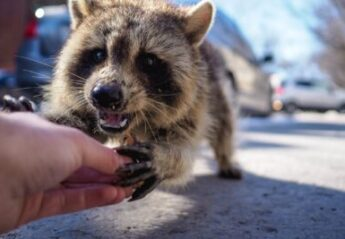 A raccoon holds the finger of a person on the street