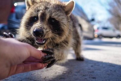 A raccoon approaches a person on the street