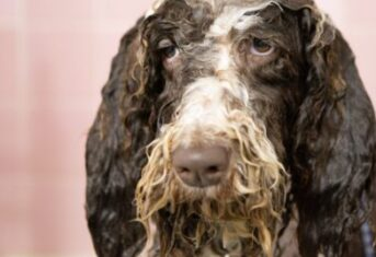 A dog looks unhappy while getting a bath
