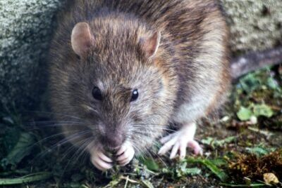 A rat chewing on food