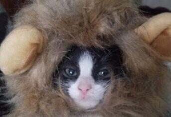 A Kitten Wearing a Halloween Costume