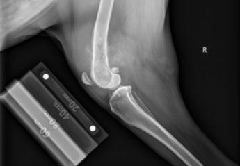 An x-ray of osteosarcoma in a dog