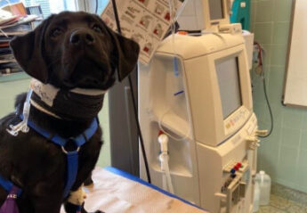A dog receiving hemodialysis