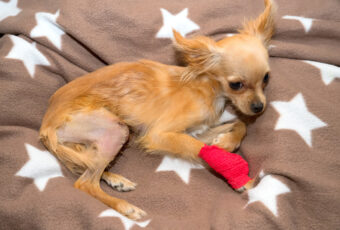 chihuahua after knee surgery
