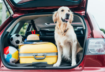 Dog in a car next to packed luggage