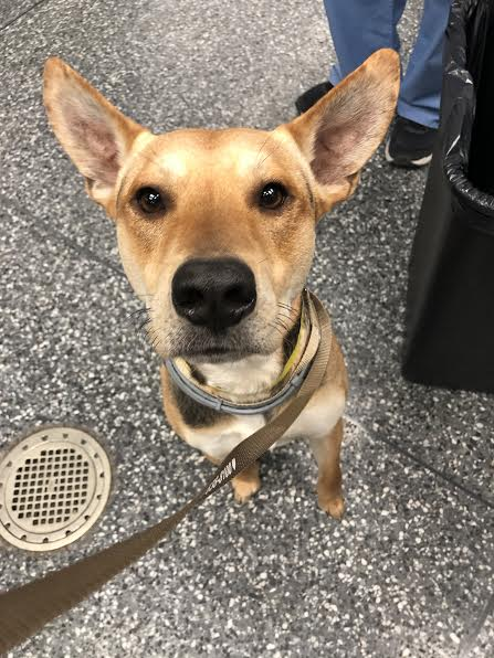 Larry the dog with ears perked up looking at the camera