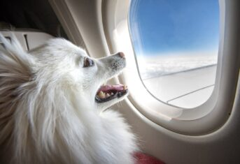 A dog looking out an airplane window