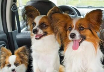 Three dogs in a car